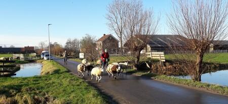 schaapskudde - de (winter) locatie van de schapen, net naast Archeon/ N11 in de polder, wanneer ze niet op de kinderboerderij zijn. - foto door RolandvanTol op 22-02-2021 - deze foto bevat: boerderij, schaap, schapen, kudde, weiland, schaapskudde, rietveld