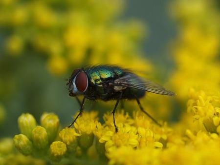 Vliegje op Jakobskruiskruid! - Giftige bloemetjes maar wel mooi om te zien. Het jakobskruiskruid vormt het hoofdvoedsel voor de zebrarups, de larve van de sint-jacobsvlinder (Tyri - foto door pomp op 03-07-2013 - deze foto bevat: groen, macro, klein, olympus, 105mm, close-up, E620