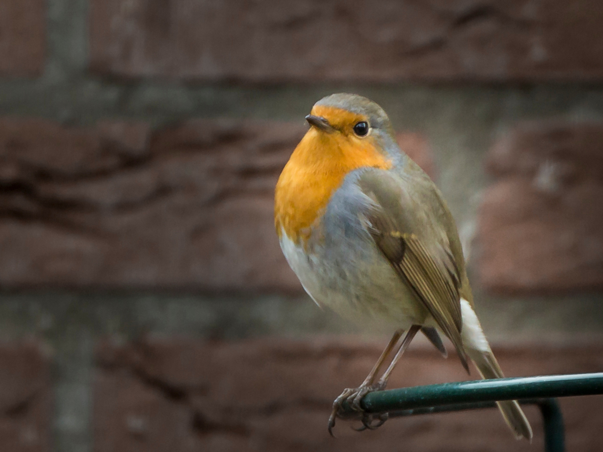 roodborst - Hij kwam regelmatig even kijken en snoepen uit de pindapot - foto door aloyss op 08-03-2021 - deze foto bevat: natuur, roodborstje, dieren, vogel - Deze foto mag gebruikt worden in een Zoom.nl publicatie