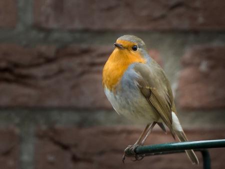 roodborst - Hij kwam regelmatig even kijken en snoepen uit de pindapot - foto door aloyss op 08-03-2021 - deze foto bevat: natuur, roodborstje, dieren, vogel