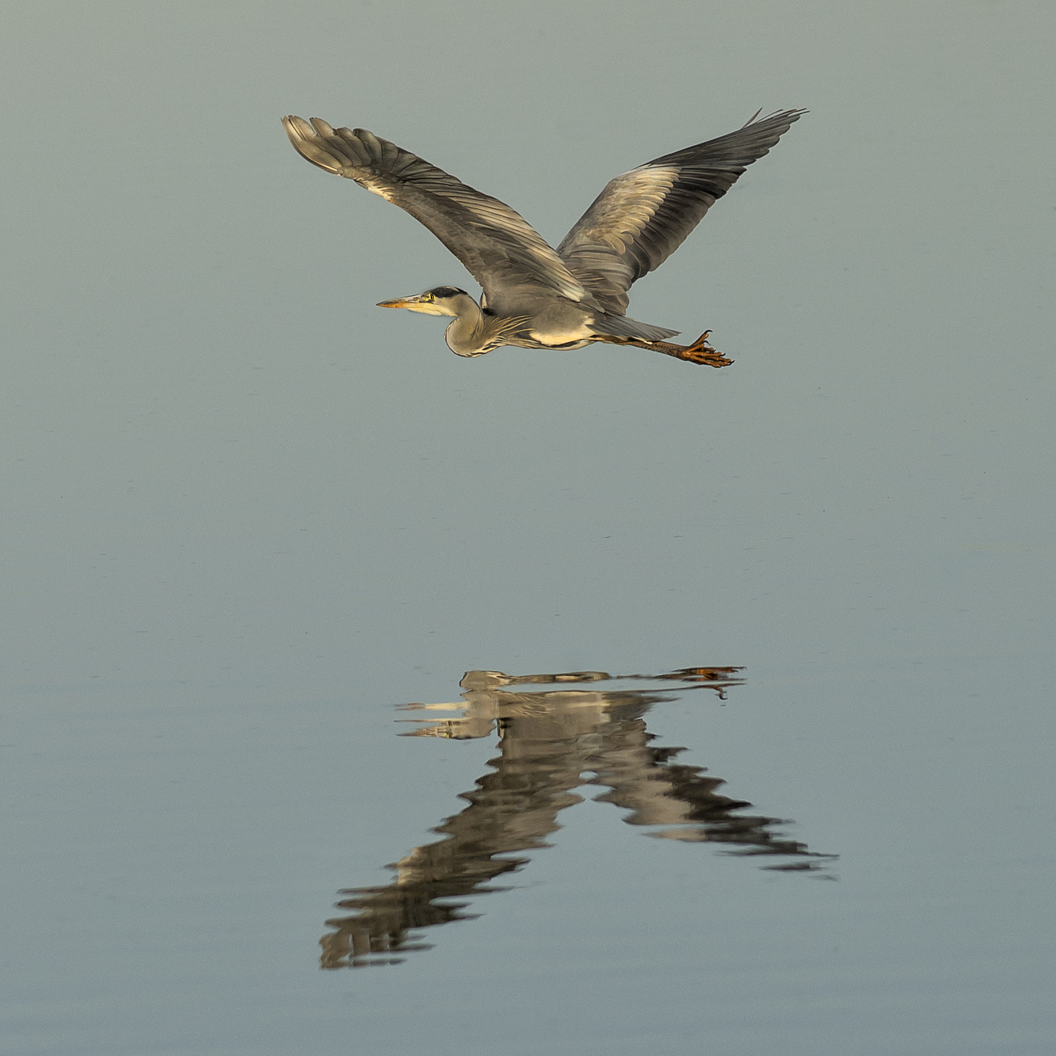 Reiger - Reiger met reflectie in het water - foto door corinnec op 12-04-2021 - locatie: Oss, Nederland - deze foto bevat: vogel, accipitridae, bek, valk, veer, lucht, falconiformes, accipitriformes, roofvogel, adelaar