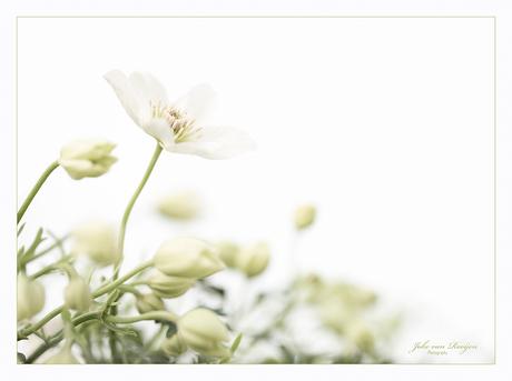 Clematis Evergreen