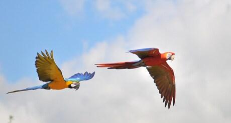 Papegaaien in de vlucht
