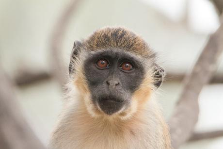 Fluwel aap (2)