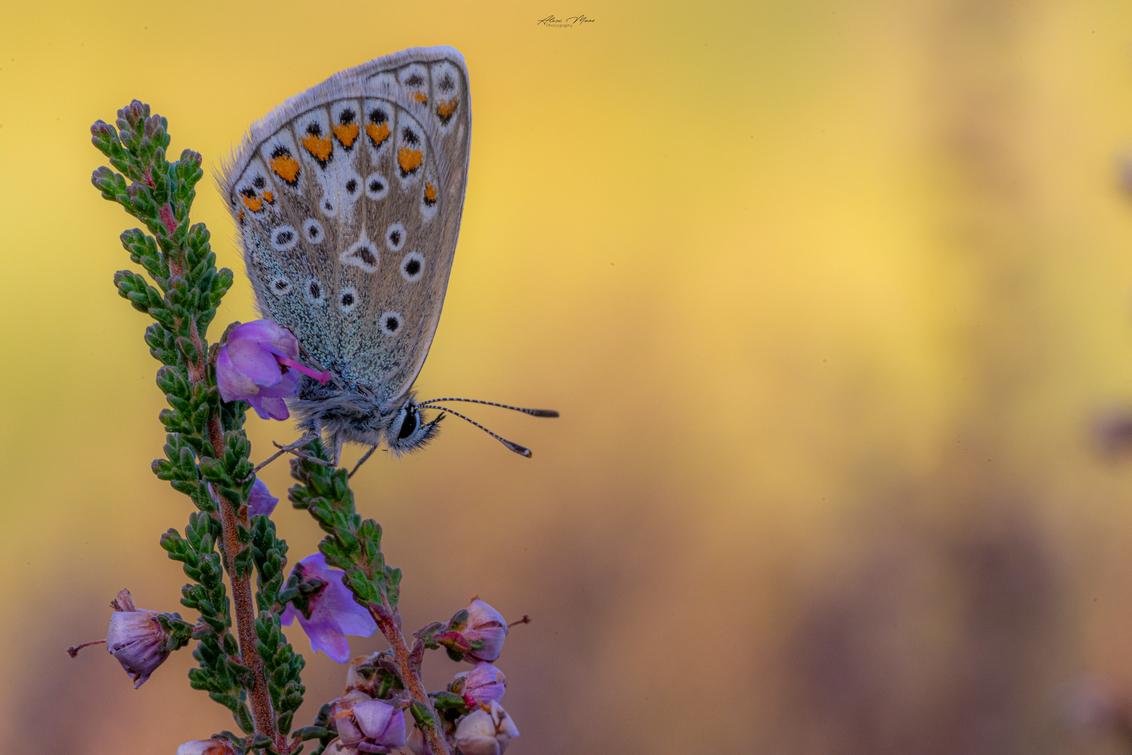 Softness - Bruin blauwtje in zachte kleuren :) - foto door Alex-Maas1 op 25-09-2020 - deze foto bevat: roze, groen, paars, macro, blauw, zon, bloem, natuur, vlinder, bruin, blauwtje, geel, licht, oranje, tegenlicht, zomer, insect, dof, bokeh