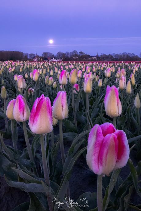 Tulpen in het laatste maanlicht...