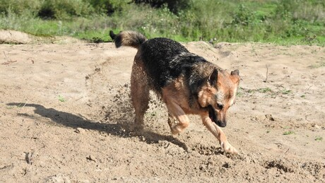 graven, eigenschap van een herdershond