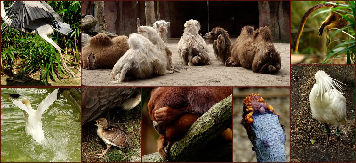 Wegwezen - wat jullie gisteren gezien hebben, het tong uitsteken, is maar een onderdeel van wat ik mee maak in dierentuinen. De andere, ook heel vervelende zake - foto door Nel Hoetmer op 13-07-2014 - deze foto bevat: dieren, wegwezen, nel, dierentuinen