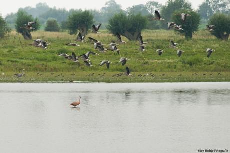 Vliegende ganzen en een Flamingo