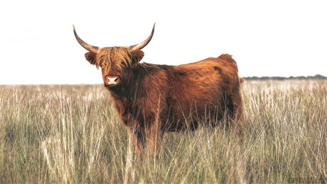 Highlander in Grass