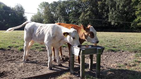 samen ontbijten - gezellig samen ontbijten. - foto door RolandvanTol op 02-03-2021 - deze foto bevat: koe, dieren, ontbijt, honger