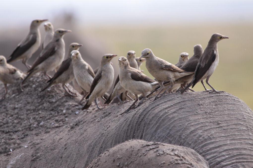 Wattled Starling - Deze vogels reden mee op de rug van een olifant. - foto door dunawaye op 26-09-2010 - deze foto bevat: safari, vogel, spreeuw, kenia, kenya, amboseli, Amboseli Game Reserve, Wattled Starling