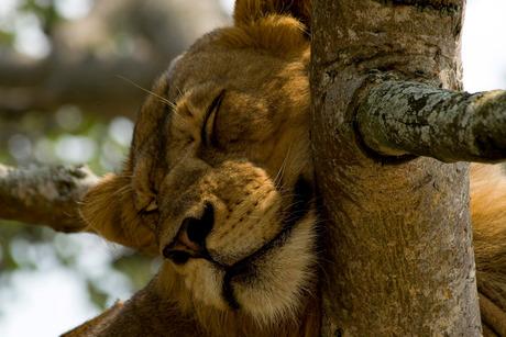 boom leeuw uganda