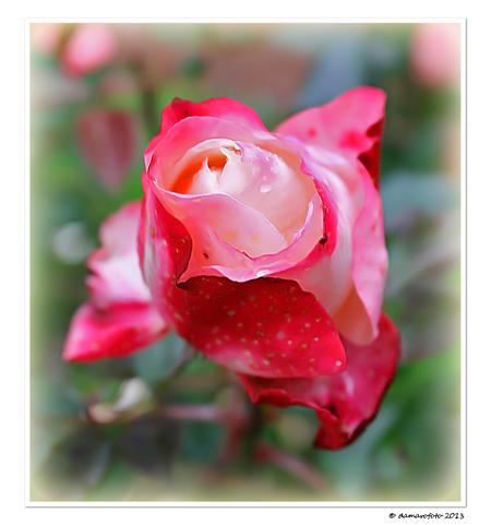 Vergankelijkheid - groet, Jean. - foto door Damarofoto op 12-11-2013 - deze foto bevat: roze, rood, roos, herfst, rose, najaar, jean, meppel, vergankelijkheid