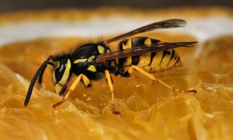 De wesp vindt de sinasappel onweerstaanbaar lekker.
