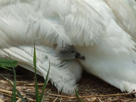 onder moeders vleugel.