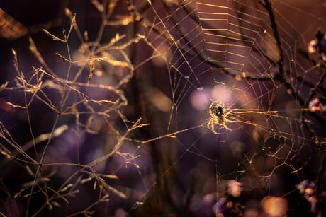Spinnetje op de hei