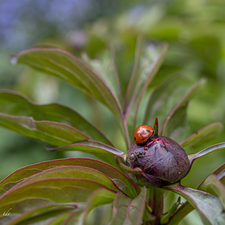 Lieveheersbeestje en mier