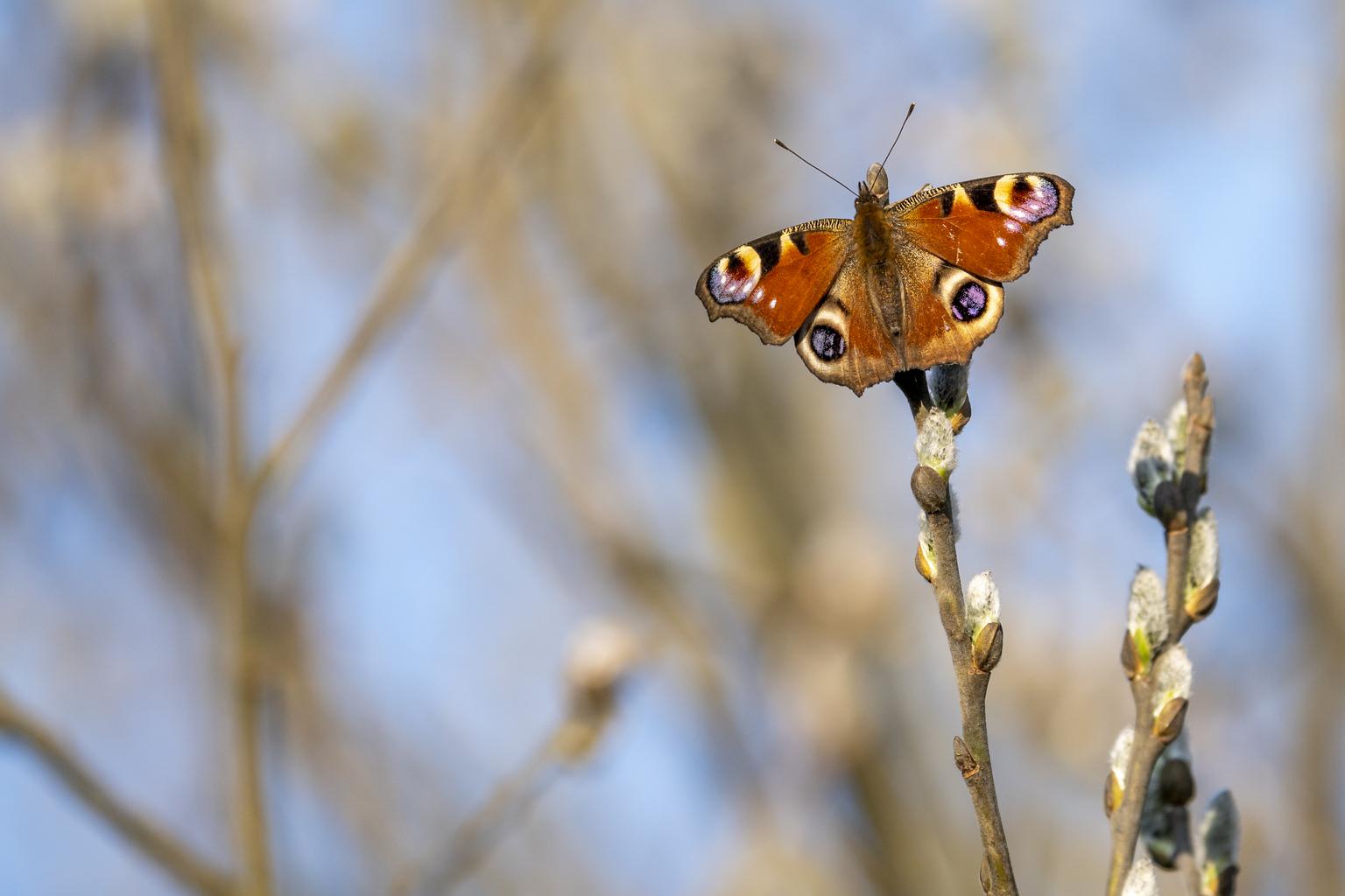 Vlinder - . - foto door Hugedad op 11-04-2021 - deze foto bevat: bestuiver, vlinder, geleedpotigen, fabriek, insect, motten en vlinders, takje, plaag, hout, ongewervelden