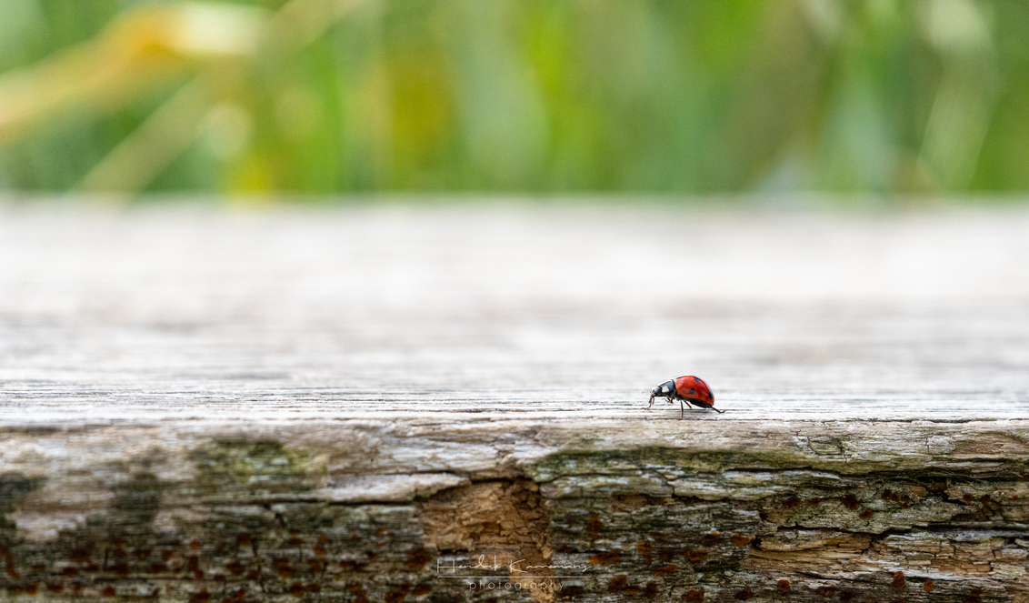 It's a big world - - - foto door Hendrik1986 op 05-07-2020 - deze foto bevat: macro, natuur, lieveheersbeestje
