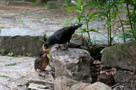 De jonge Mereltjes zijn uit hun nest gekieperd. - Uit het nest in de beukenhaag zijn vanmorgen de twee overgebleven jonge mereltjes hardhandig door de wind eruit gekieperd. Ze redden zich prima op d - foto door visch-castle op 15-06-2013 - deze foto bevat: merel, tuin, vogel