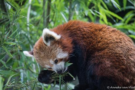Rode panda of katbeer (Ailurus fulgens)