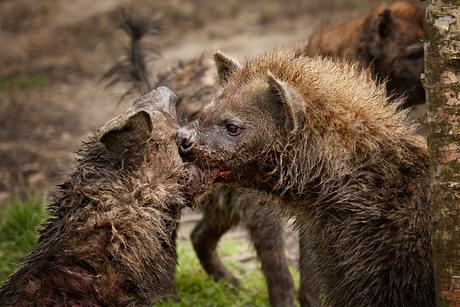 Hyena gevecht 2