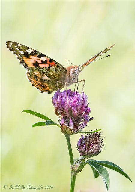 Distelvlinder - Maandagmiddag veel vlinders op één van m'n macro veldjes , die na het maaien gelukkig weer zover zijn dat ze weer goed bevolkt worden . Ik loop beho - foto door hilly1945billy op 13-08-2013 - deze foto bevat: macro, bloem, natuur, vlinder, klaver, distelvlinder, hilly1945billy
