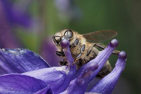 Honingbij in close-up