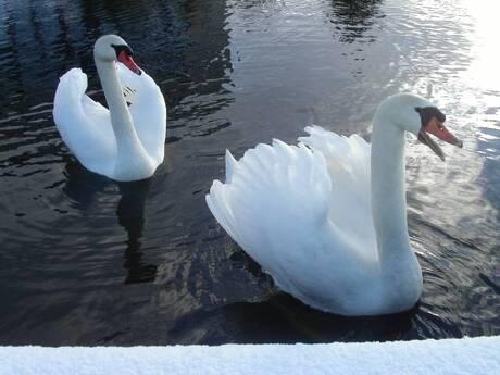 Zwanen / Swans