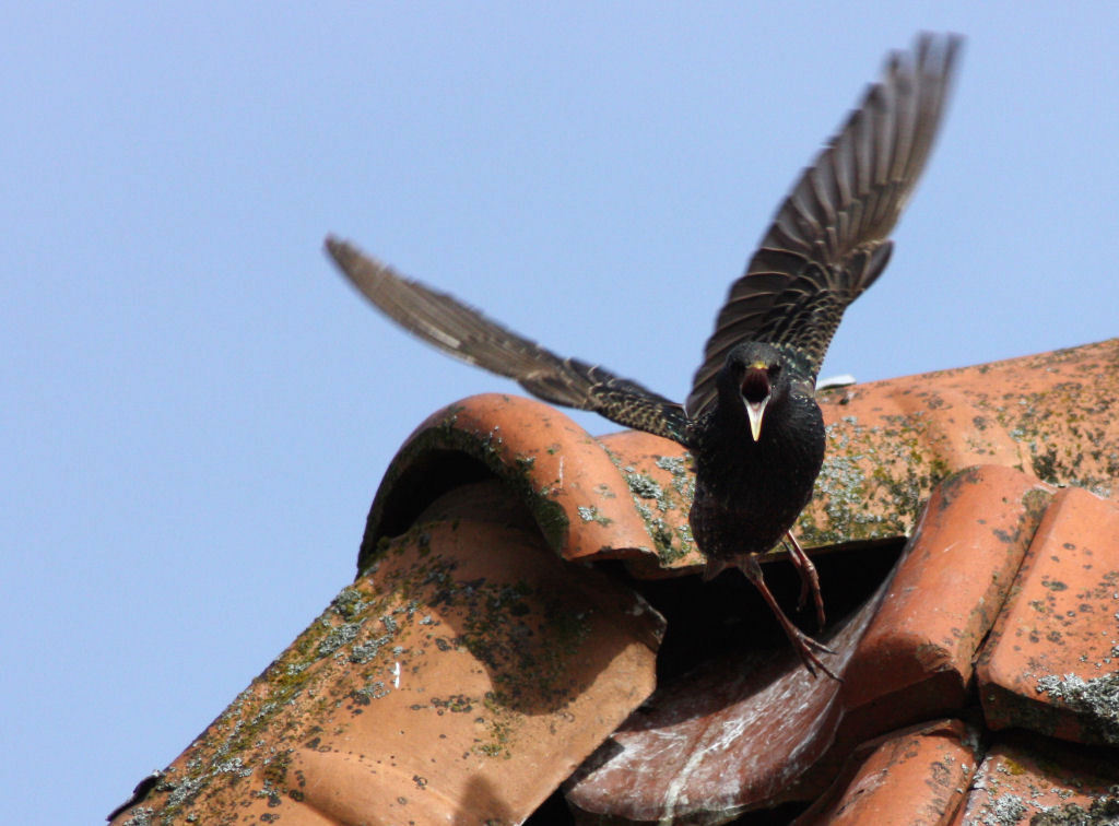 schreeuw van een spreeuw - Ze hebben het vreselijk druk met voeren. Deze heeft zijn nest op een wel heel moeilijk aan te vliegen hoekje. Nu de jongen groter worden kan ie amper - foto door ljdrost op 22-05-2009 - deze foto bevat: vogel, spreeuw, ljdrost, jongen-voeren-