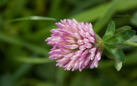 Nog een variant op de lila bloem