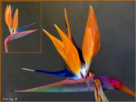 San Diëgo 12 Paradijsvogelbloem