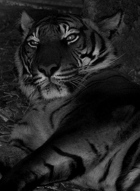 pokerface - hij lag  lag heel lui in een donker hok.Hij heeft zo'n mooie markante kop ,door zwart wit een beetje dramatisch ge maakt - foto door wimal op 14-11-2013 - deze foto bevat: dierentuin, tijger, blijdorp