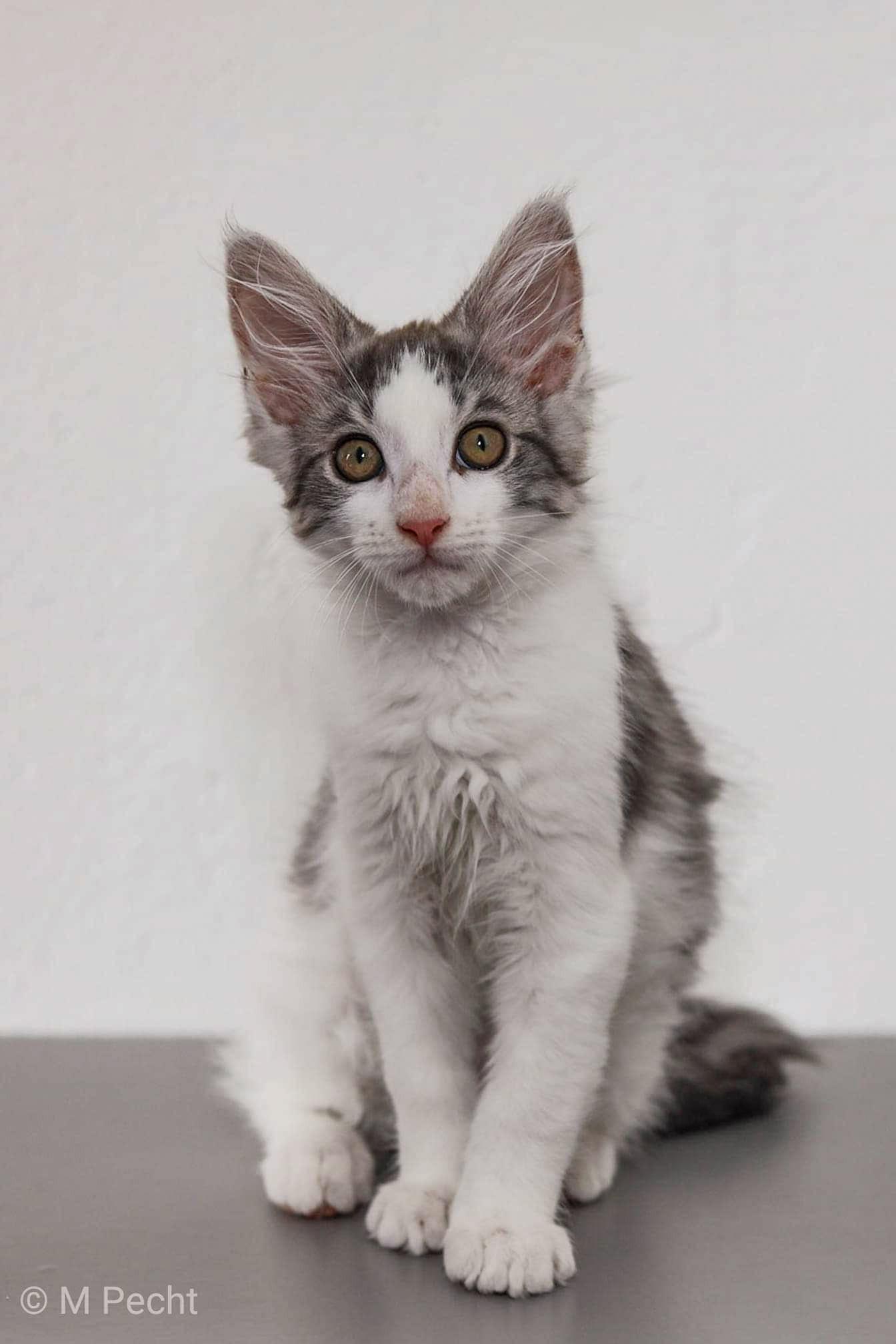 Maine coon Dex - Mooie man Dex een maine coon kitten.  - foto door schaiky op 10-04-2021 - locatie: 2133 KX Hoofddorp, Nederland - deze foto bevat: maine coon, grijs, wit, kitten, kater, kat, felidae, carnivoor, kleine tot middelgrote katten, grijs, bakkebaarden, snuit, staart, poot, venster