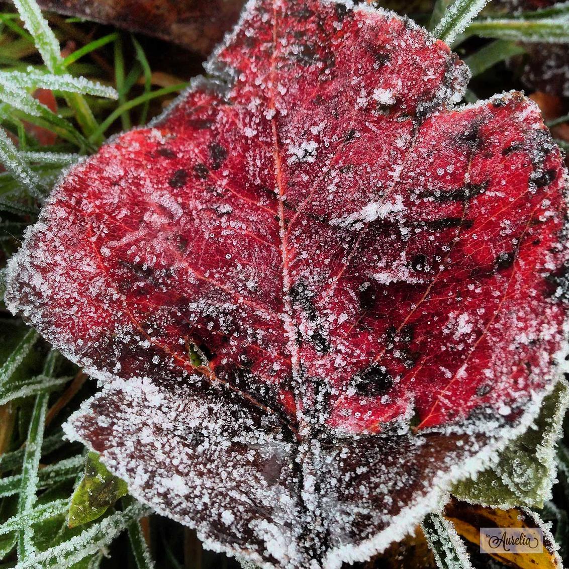 Ladybug - Dat bladeren groen, geel, rood en bruin  kunnen zijn, is afgelopen herfst nog eens  goed bewezen! Maar dat ze door kleur  en vorm op een dier lijk - foto door Aurelia Ebbe op 23-12-2013 - deze foto bevat: bladeren, rijp, winter, blad, koud, vorst, flevoland, kou, almere, aurelia, herfstblad, december, winters, iphone, laaurelia, beeldblog, la aurelia