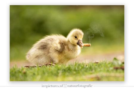 Er is altijd dat ene broertje... - Tja.... altijd die ene rebelse in het gezin hè....   Dit jonge gansje was aan het schooieren door het gras, pikte de peuk op en spuugde hem gelukki - foto door in2picturesnature op 09-04-2020 - deze foto bevat: humor, dieren, vogel, gans, baby, jong, roken, pulletje, sigaret