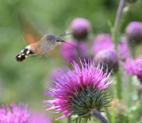 Colibrivlinder