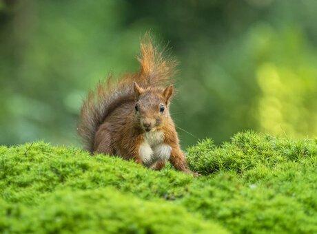 Eekhoorntje in het mos