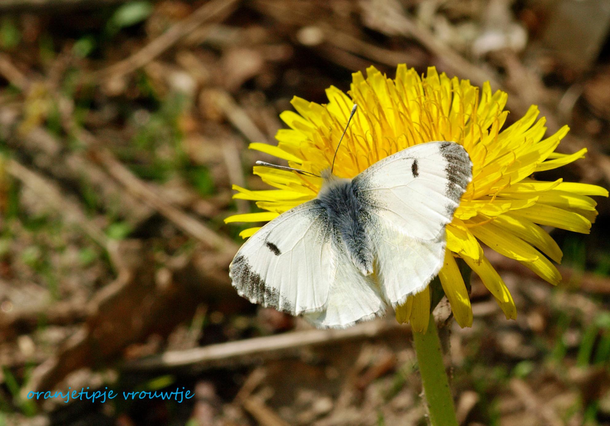 oranjetipje vrouwtje - Deze vlinder zit amper enkele seconden stil. Bijna onbegonnen werk om hem te fotograferen. Het vrouwtje op deze foto werkte eventjes mee. Het mannetj - foto door Karientje op 19-04-2009 - deze foto bevat: vlinder
