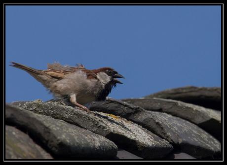 Mussen waaien van het dak