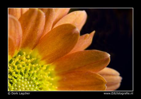 Chrysant macro 1