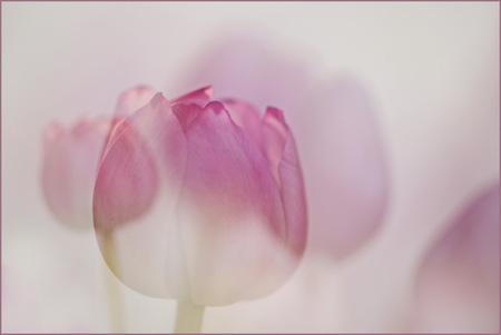 TULPEN - Zag vandaag m,n bos tulpen staan, had even niets te doen. Ben aan de slag gegaan, een lichte achtergrond,, dubbele belichting en hier is het resultaa - foto door lucievanmeteren op 06-05-2020 - deze foto bevat: roze, paars, tulpen, soft, lente, bloemen, dubbele belichting