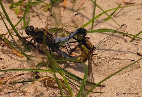 Libellen in love