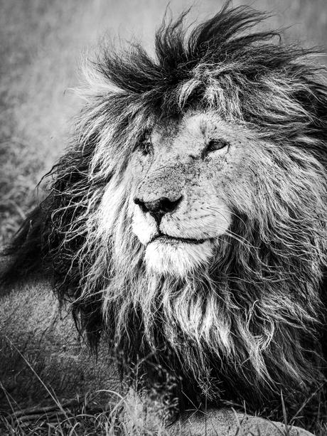 Scarface - the king of the Masai Mara