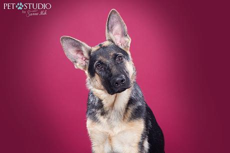 Duitse herder pup door Pet Studio   Hondenfotograaf Sanne Mik