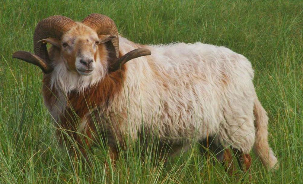 Drents heideschaap - Drentse heideschapen komen ook in de Noord-Hollandse AWD ( Amsterdamse Waterleidingduinen) voor,  er valt daar voor hen ook voldoende te grazen, dez - foto door jzfotografie op 01-09-2014 - deze foto bevat: gras, natuur, dieren, landschap, natuurgebied, awd, grazen, hoorns, ram, noord-holland, drents heideschaap, zuid kennemerland