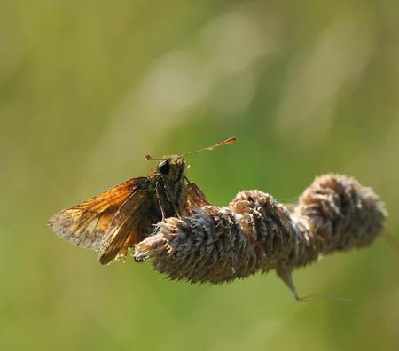 Door.... - De zomermapjes... En ik kwam het dikkopje tegen... - foto door pietsnoeier op 30-01-2014 - deze foto bevat: macro, natuur, vlinder, dikkopje