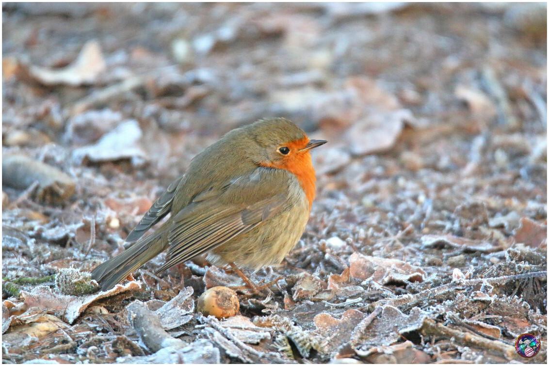 Roodborstje ... - - - foto door willemdanker op 27-12-2018 - deze foto bevat: roodborstje, vogel, zeewolde