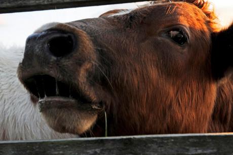 loeiende koe
